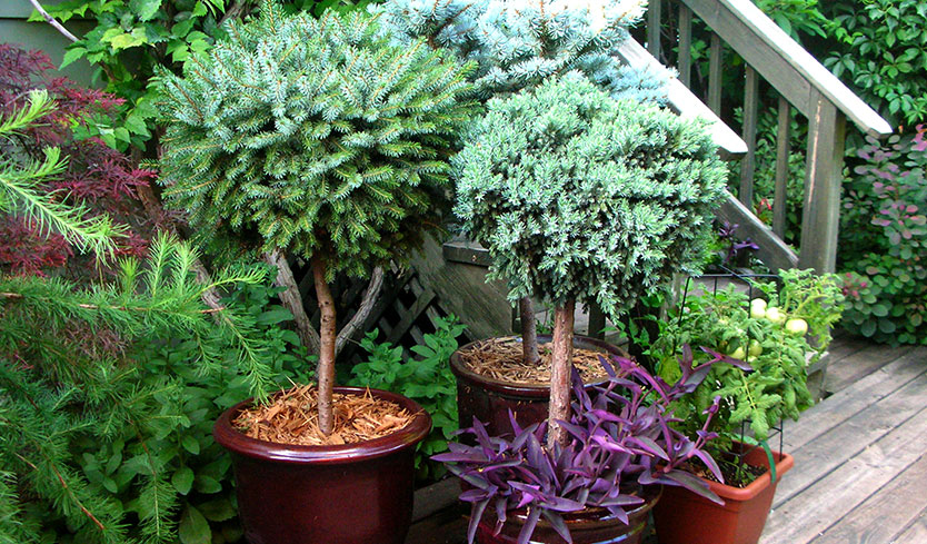 tall potted plants for outdoor privacy